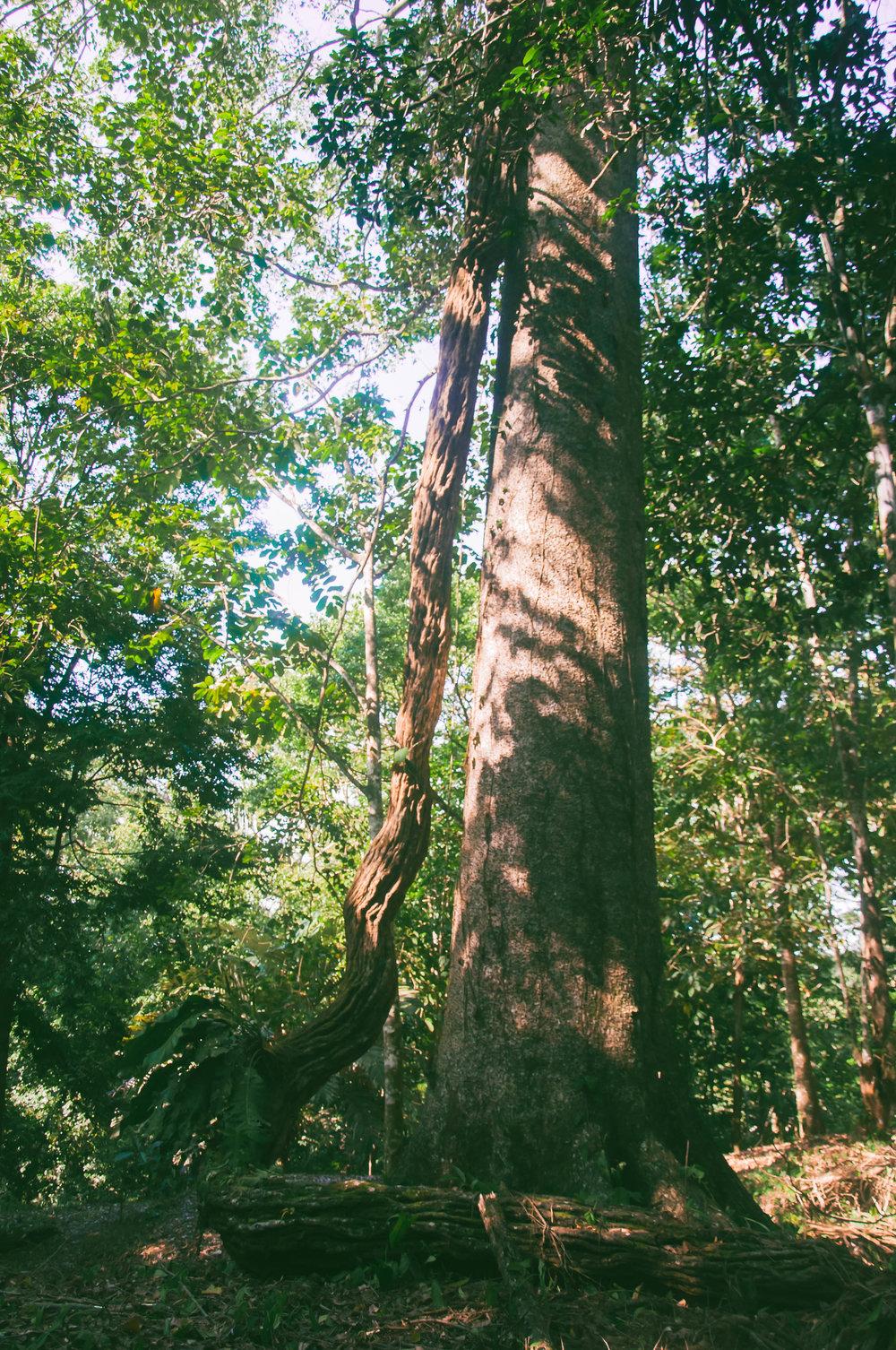 A giant Tarzan vine!
