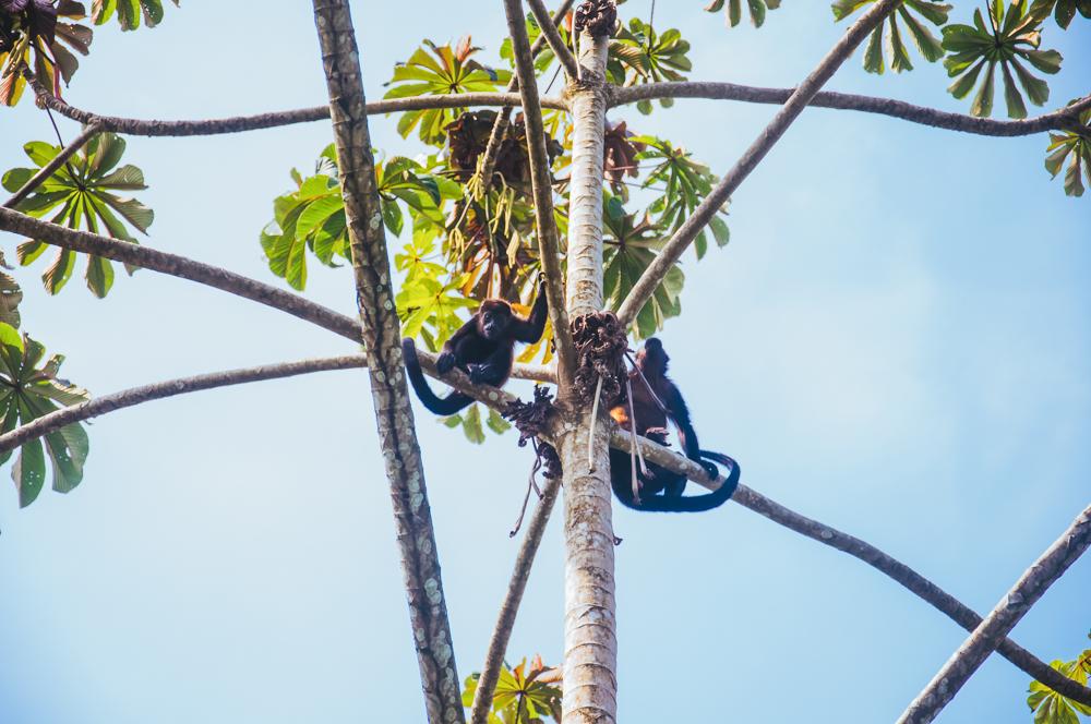 Howler Monkeys looking down.