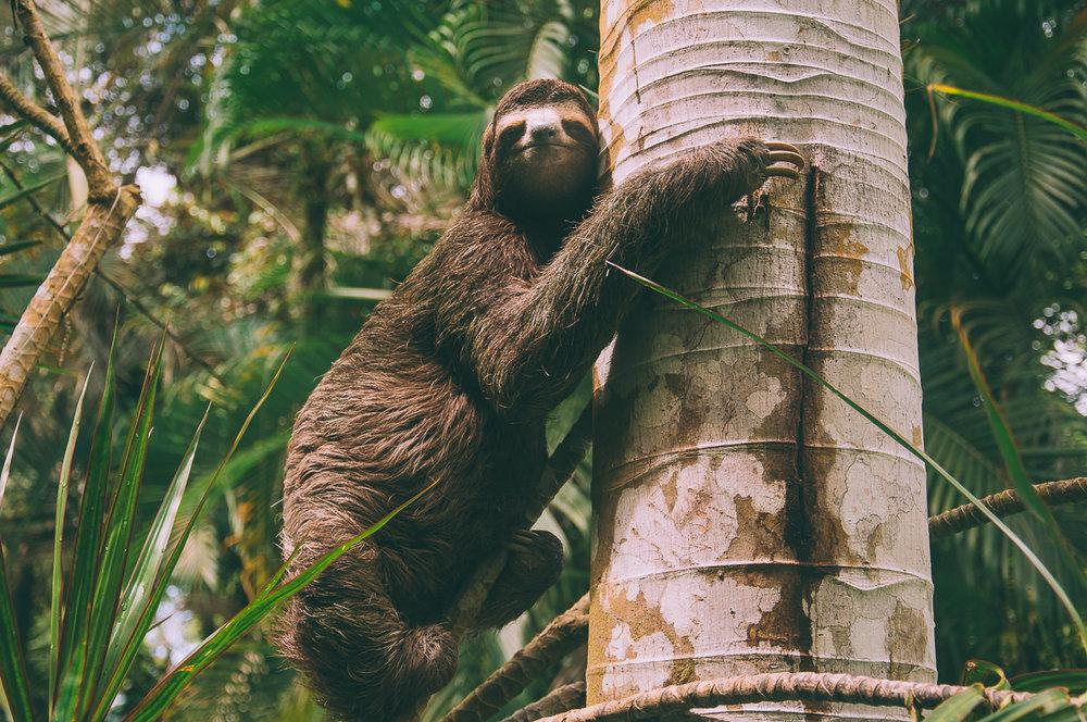sloth-costa-rica
