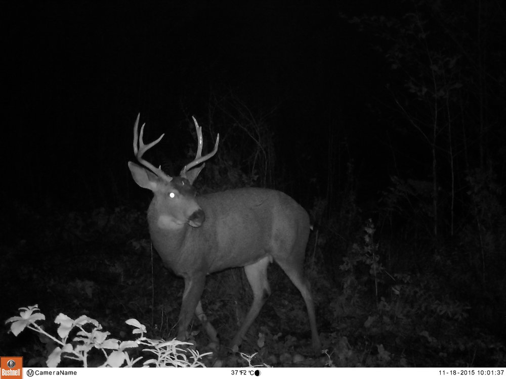 This is the buck I ended up harvesting. He was pretty predictable in his activity, and tasted delicious.