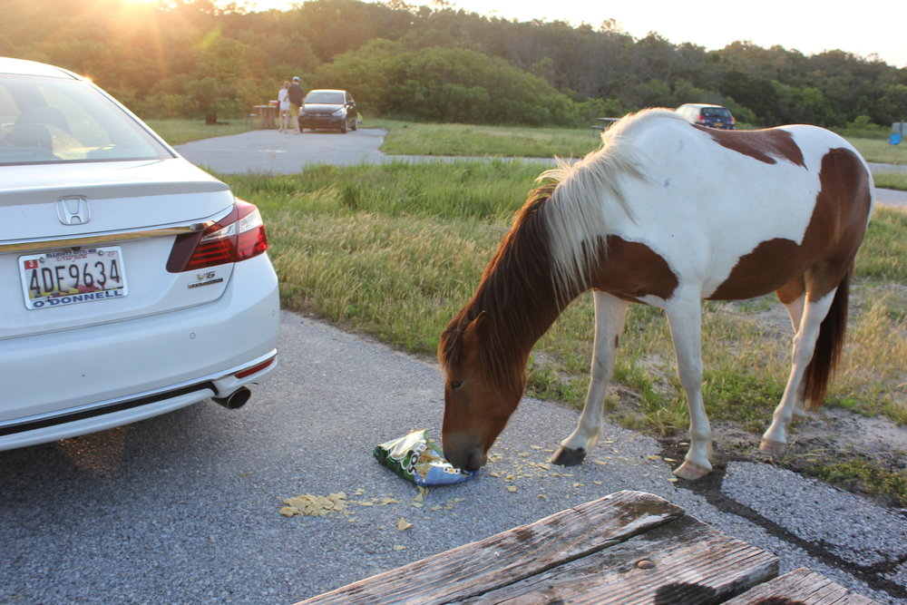 Assateague Island MD - Horse eating tostitos.JPG