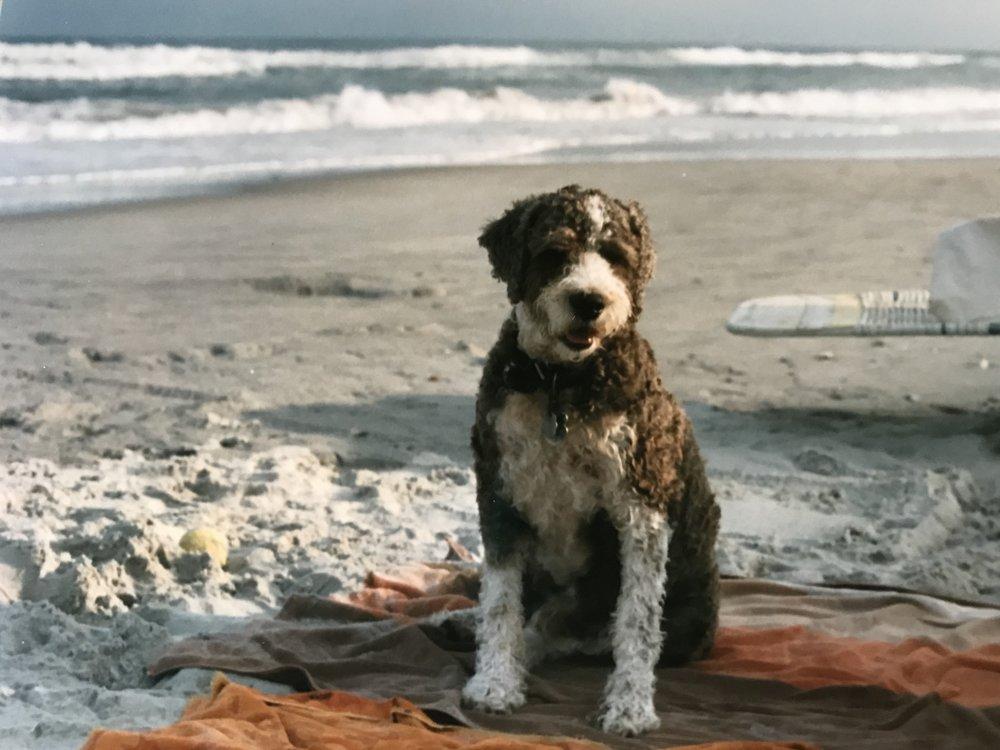 Brown Bear at a Topsail, Island, NC, beach, circa 1980