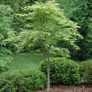 TREES to create the shade - For those locations when winter sun is a must, use   Acer palmatum  Osakazuki , common name  Japanese Maple . .This Maple handles the Sydney heat and humidity better than most...