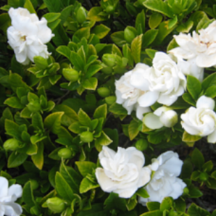 SHRUBS - A goodie and a reliable favourite are the   Gardenia's  . They offer a wonderful deep green leaf in shade and part sun locations. Easy to grow, just keep them moist and they will reward you with with beautiful aromatic flowers...
