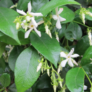 CLIMBERS - To cover up the courtyard fence, one of the better options has to be   Trachelospemum jasminoides   commonly known as  Star Jasmine.  It looks truly wonderful in spring and summer with its prolific flower display. A great fence or wall screen all year.