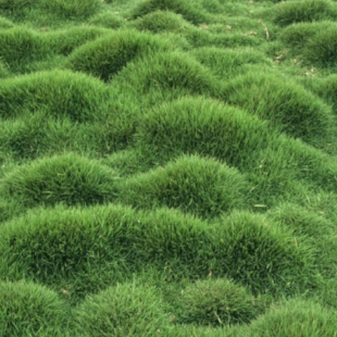 GROUND COVER - I often use   Zoysia tenuifolium   or  No Mow Grass  as a ground cover to any shaded garden bed.   It will also tolerate sun if kept moist, this plant offers an undulating textural form to the garden. As the name implies, you don't need to mow it...