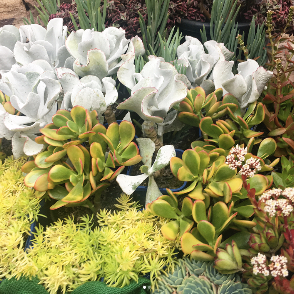 How To Grow Succulents In A Sydney Garden Leaf Stone Water
