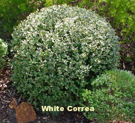 Correa Alba pruned.png