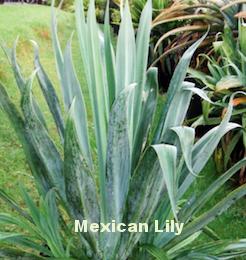 Beschorneria yuccoides .png