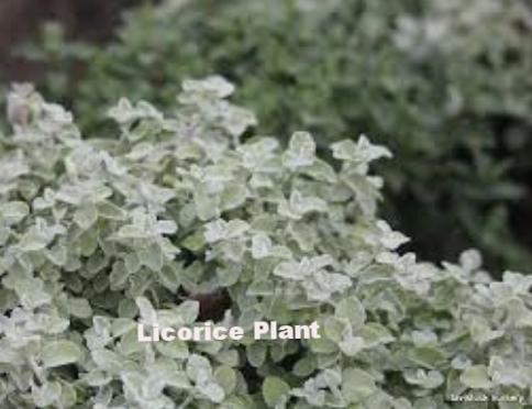 Helichrysum petiolare 4.png