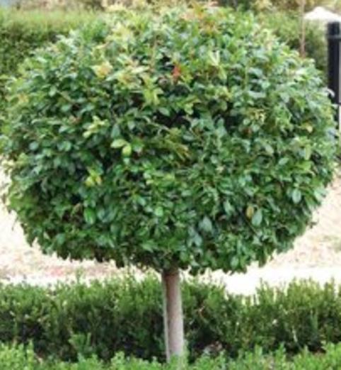 Syzygium australe.png