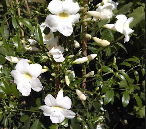 Pandorea jasminoides 5.png