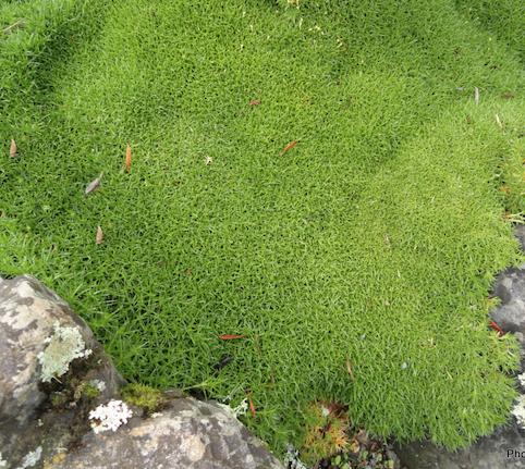 Scleranthus biflorus 4.png