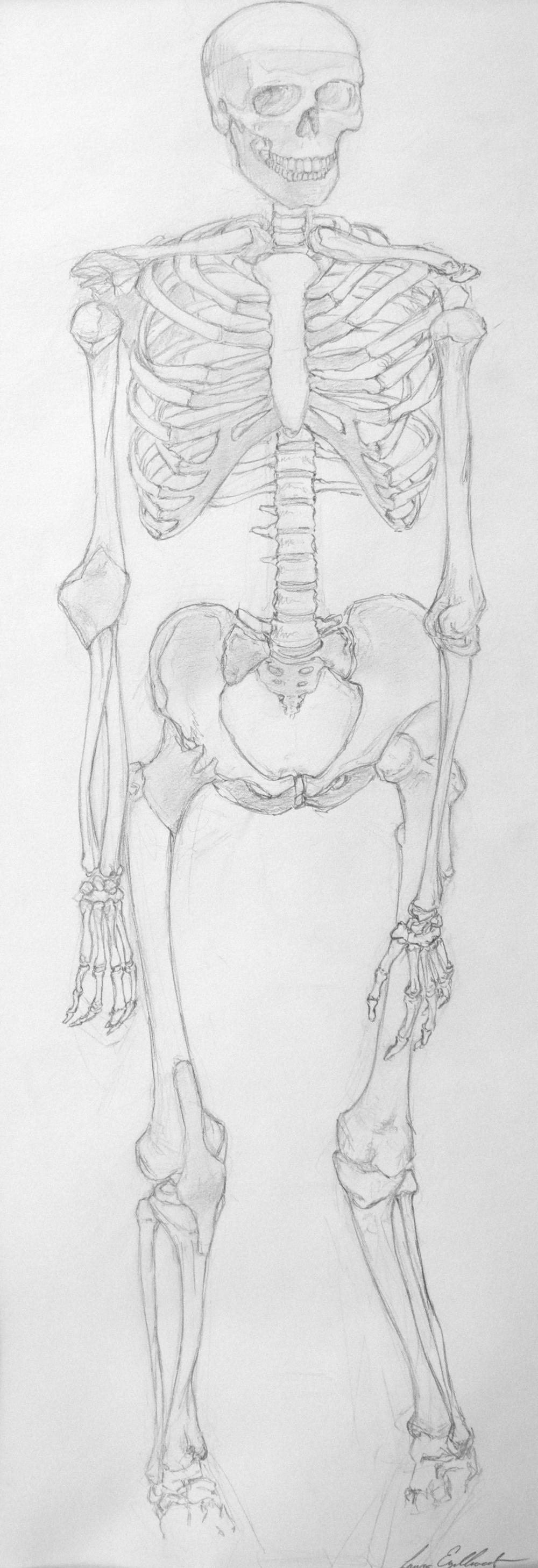 Skeleton Front Study
