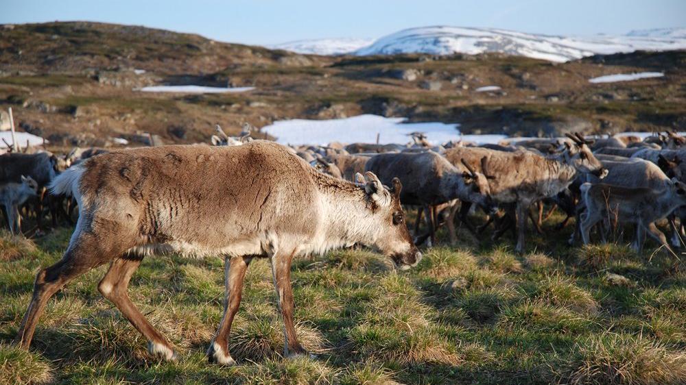 regina_storuman_reindeer.jpg
