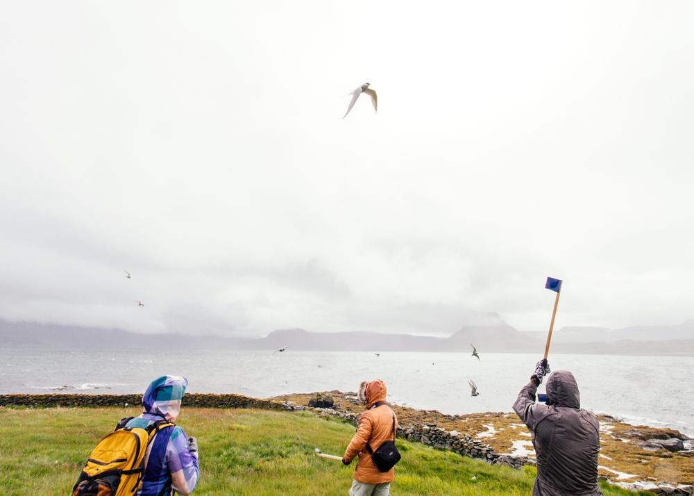 Bird island Vigur