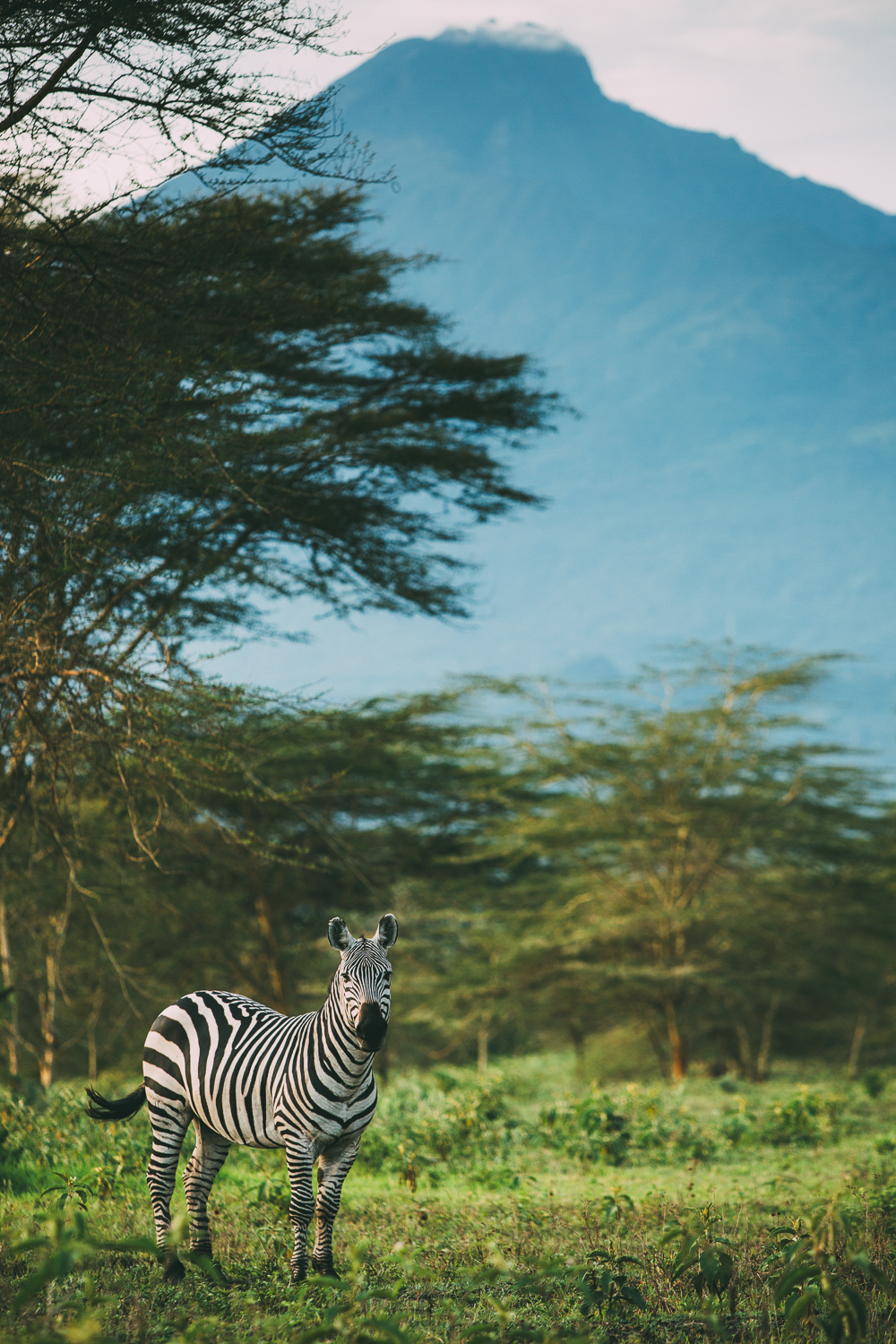 A beautiful zebra with Mt Meru behind her