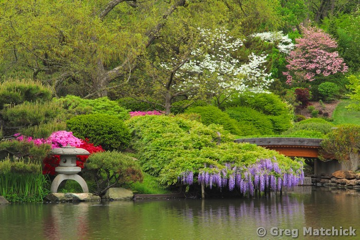 Wisteria In a Japanese Garden