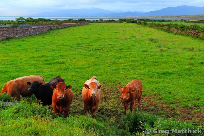 Cows In County Kerry