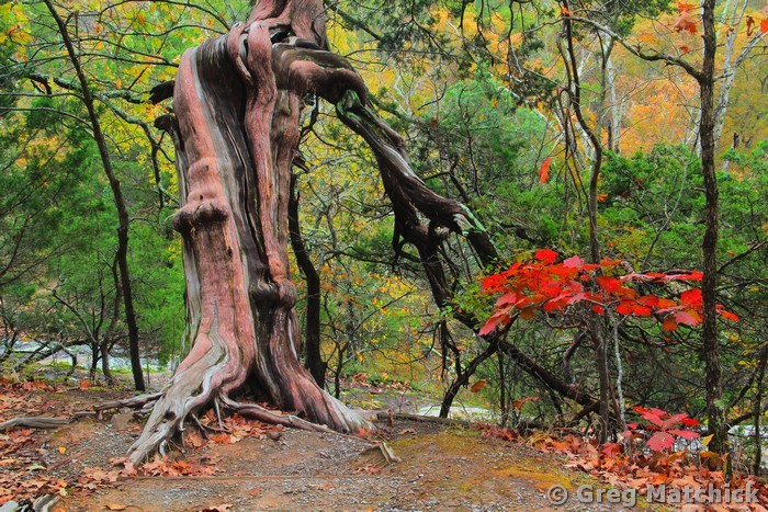 Weathered Cedar 1 Along the Rim Rock Trail