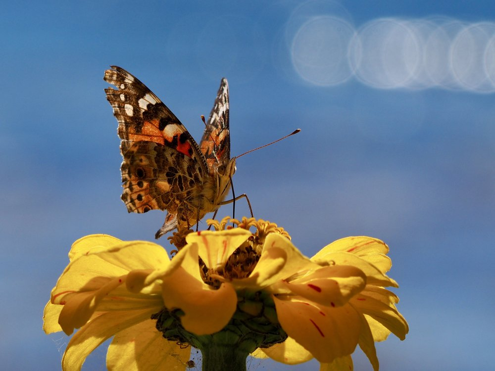 Fall-camouflaged butterfly in the garden by the sea