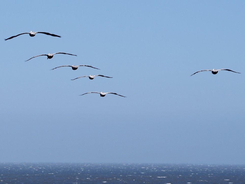 birds soar and ride the gusty ocean breeze