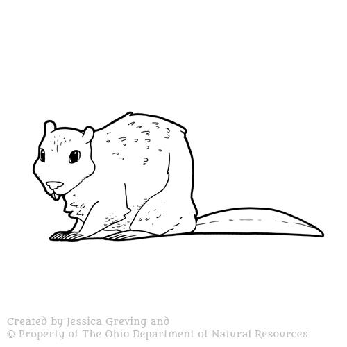Beaver_ODNR_Jessica-Greving_2017.jpg