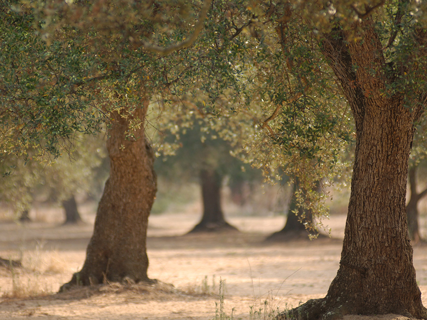Salento's limestone-rich soils are ideal for growing olives, a tradition that spans millennia there.jpg