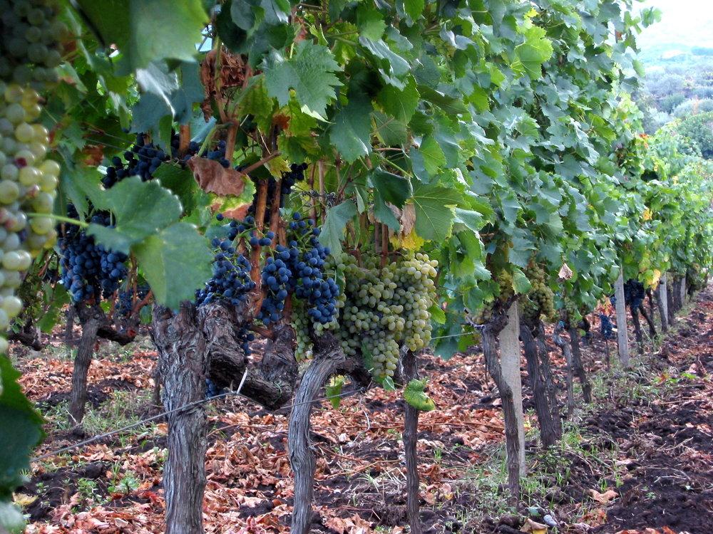 Etna_Wine_Sicily,_Italy._Field_blend.jpg