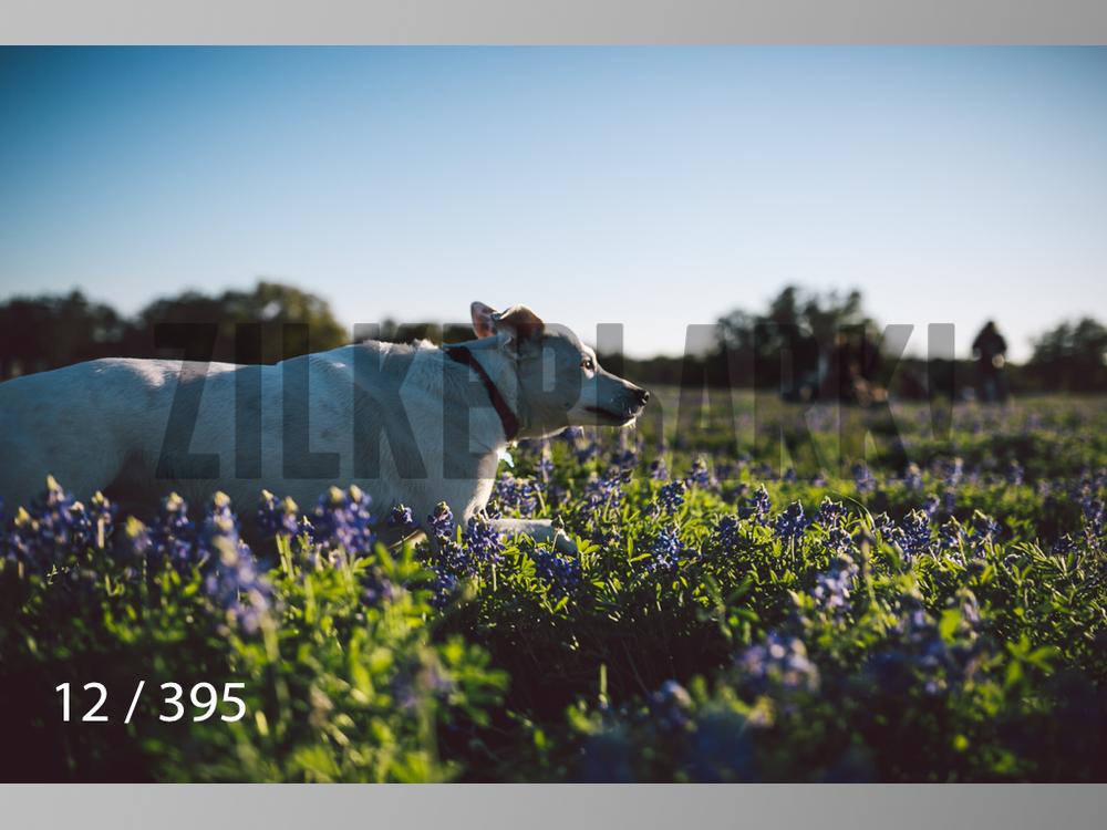 Bluebonnet wm-012.jpg