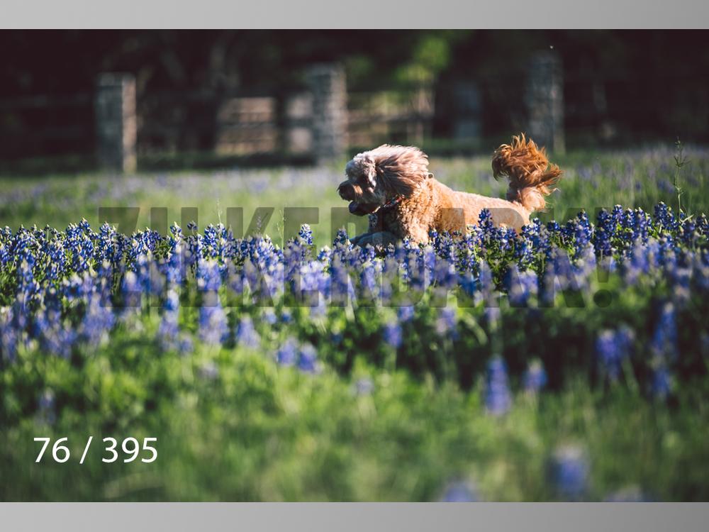 Bluebonnet wm-076.jpg
