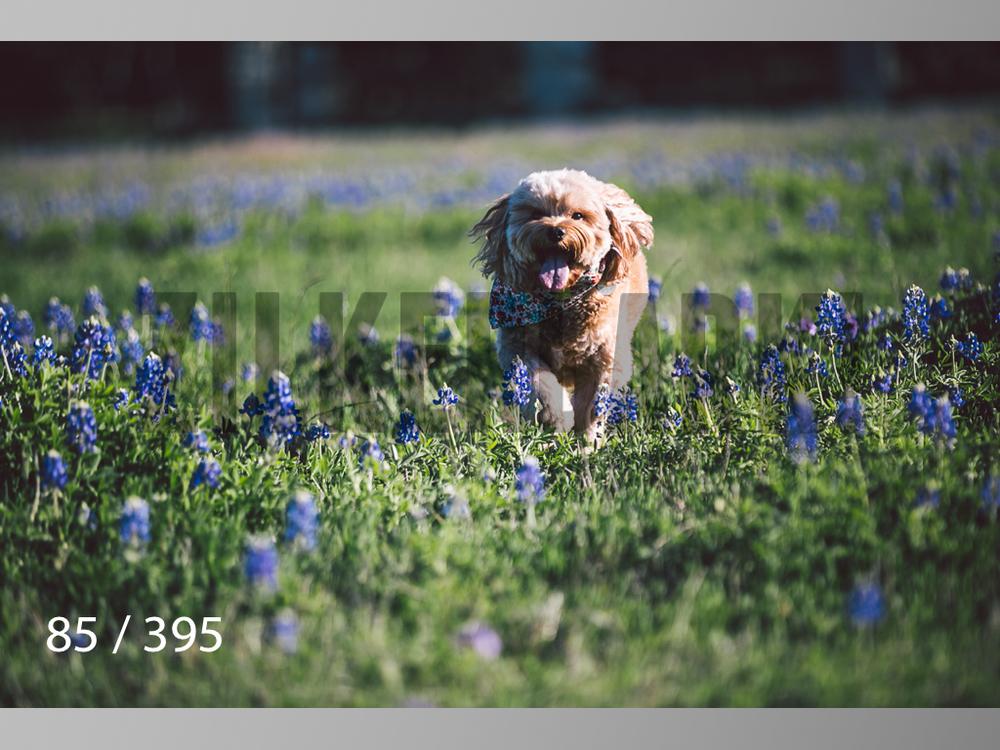 Bluebonnet wm-085.jpg