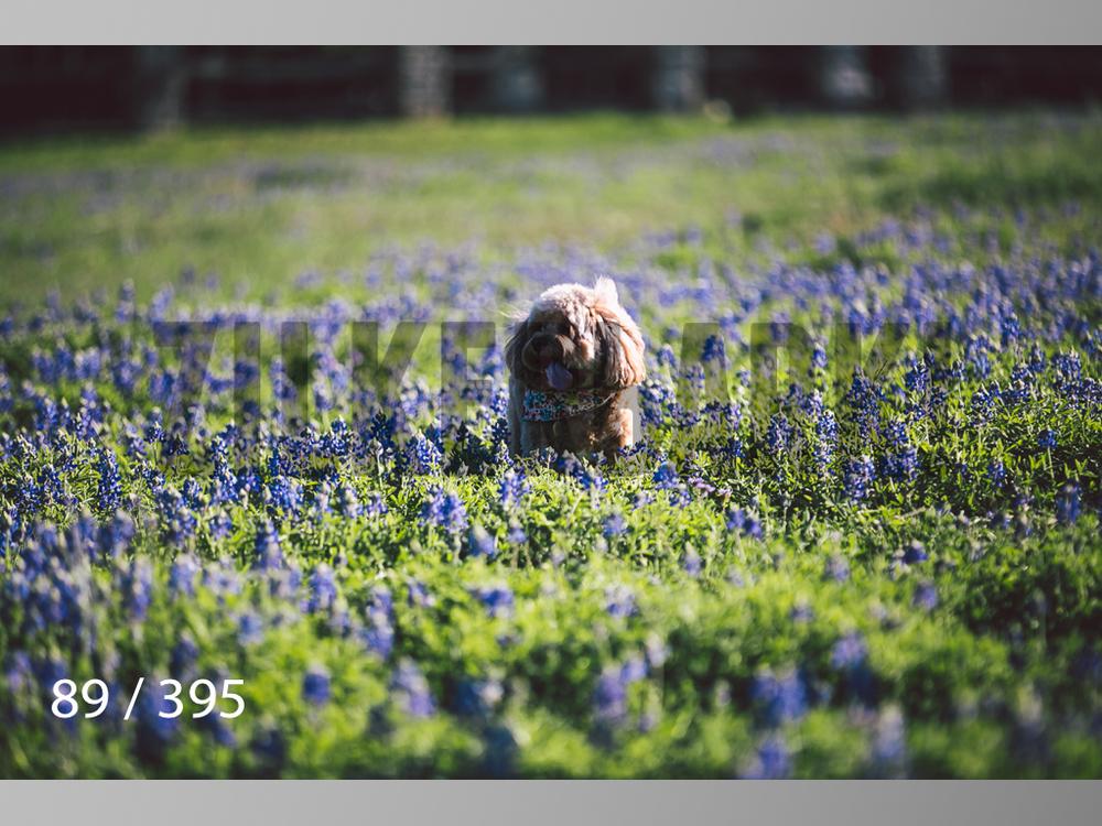 Bluebonnet wm-089.jpg