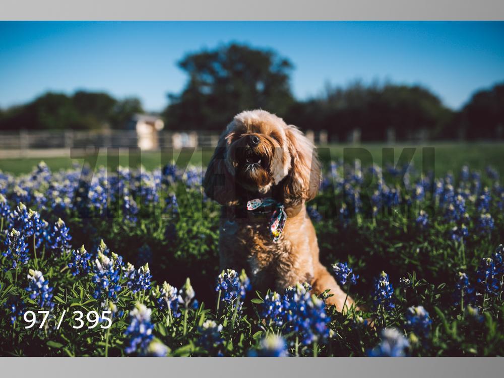 Bluebonnet wm-097.jpg