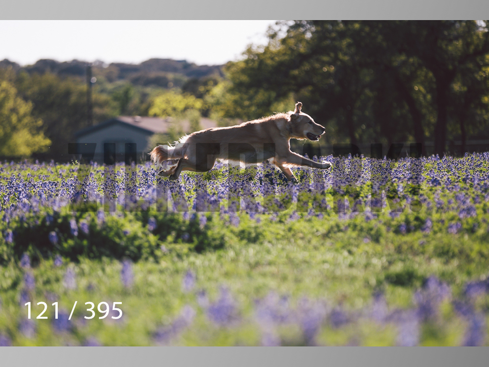 Bluebonnet wm-121.jpg