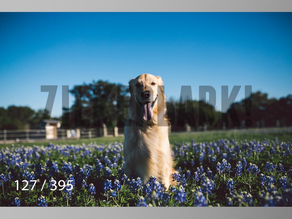 Bluebonnet wm-127.jpg