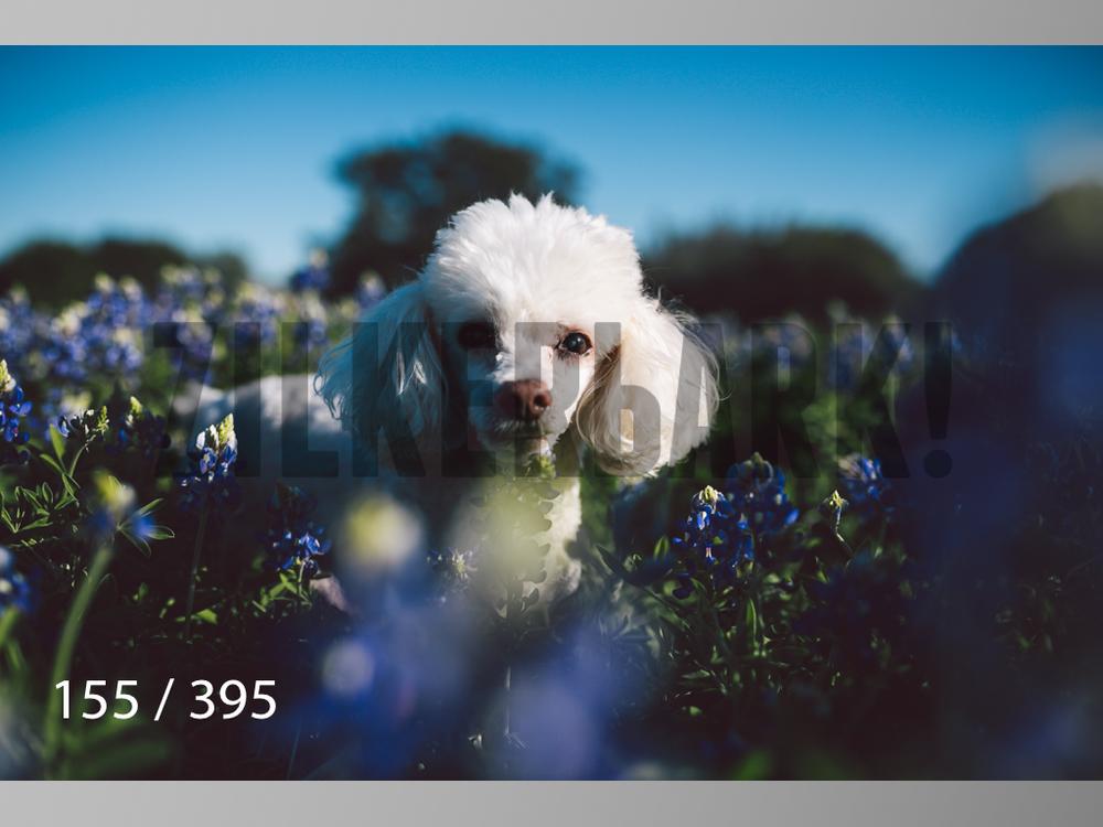 Bluebonnet wm-155.jpg