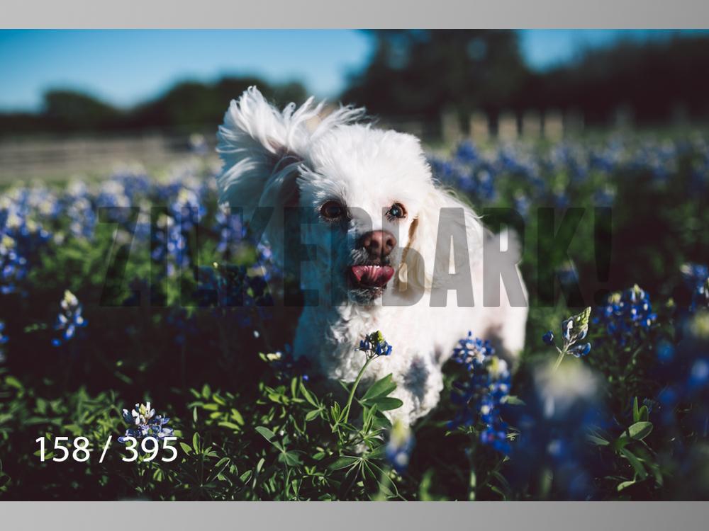 Bluebonnet wm-158.jpg