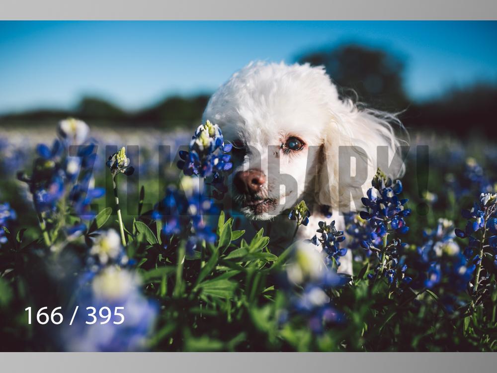 Bluebonnet wm-166.jpg