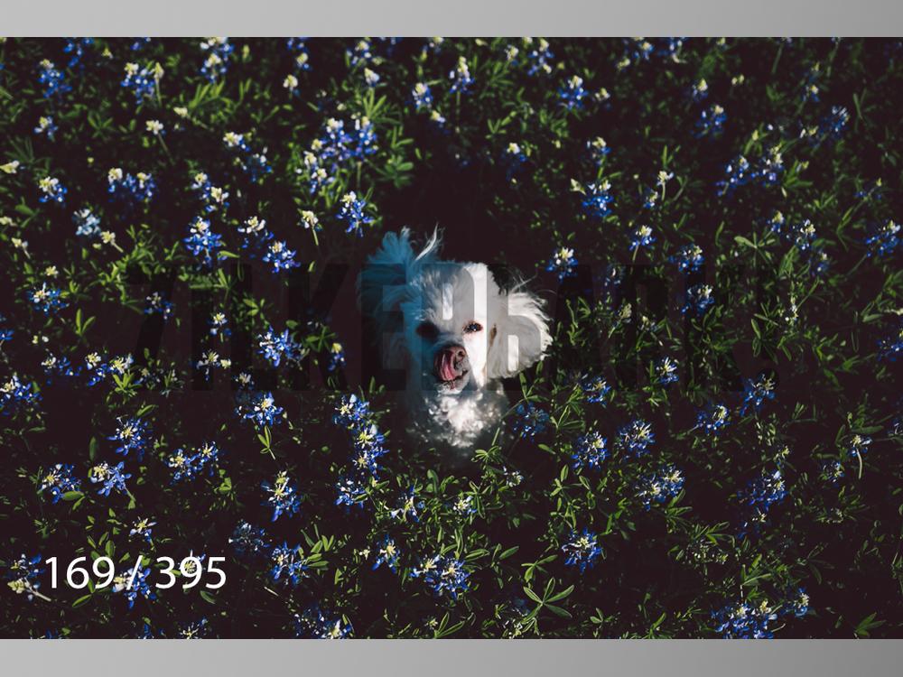 Bluebonnet wm-169.jpg