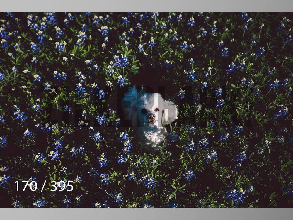 Bluebonnet wm-170.jpg