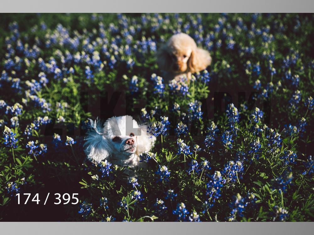 Bluebonnet wm-174.jpg