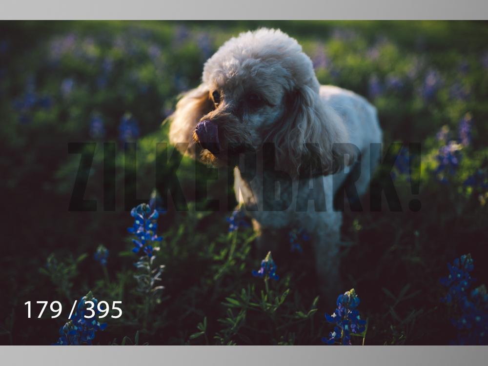 Bluebonnet wm-179.jpg