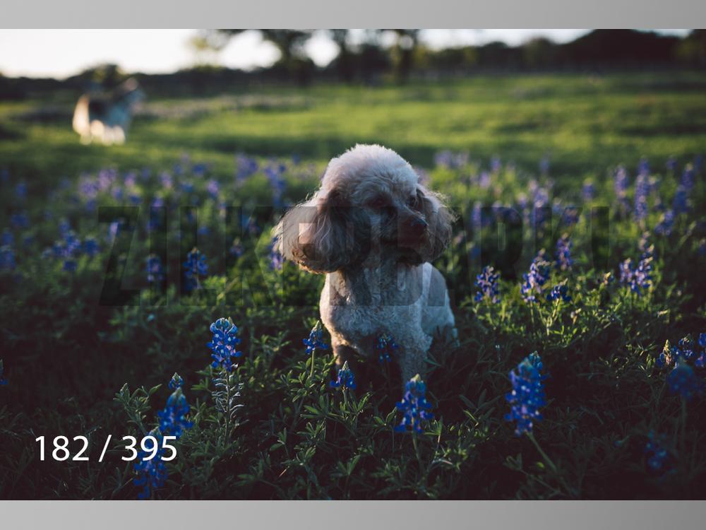 Bluebonnet wm-182.jpg