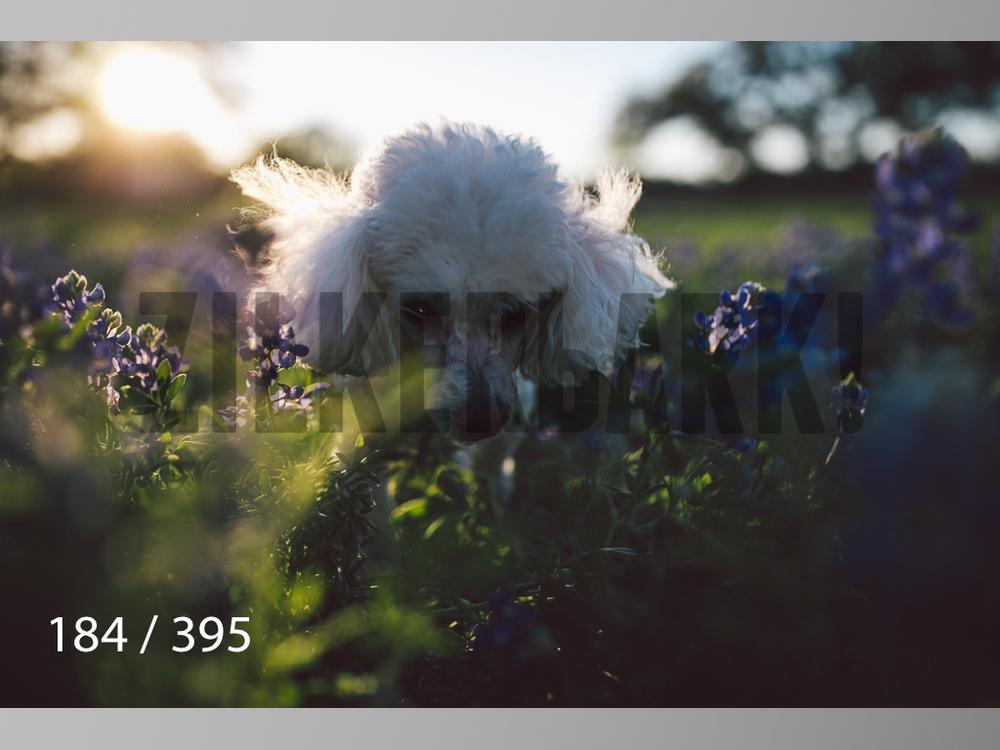 Bluebonnet wm-184.jpg
