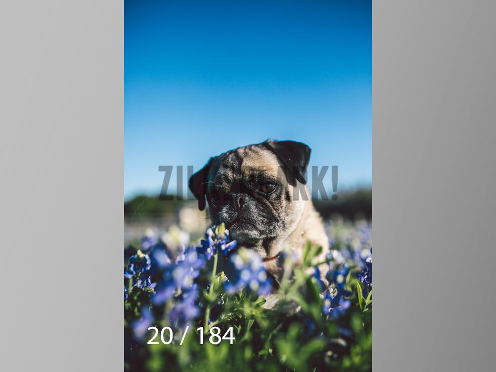 bluebonnet-020.jpg