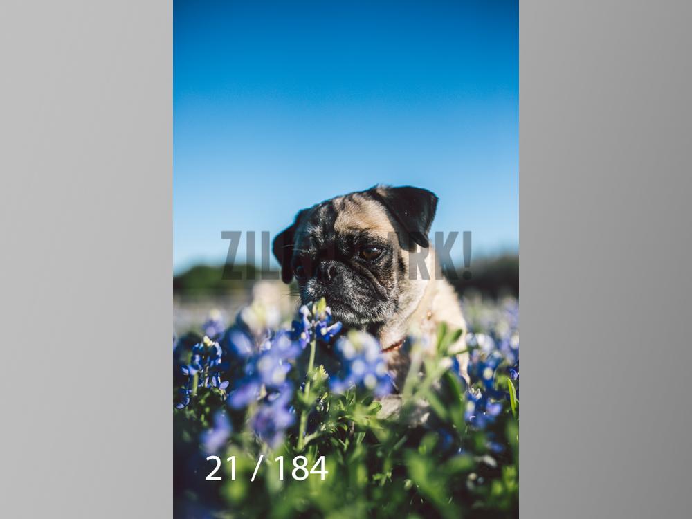 bluebonnet-021.jpg