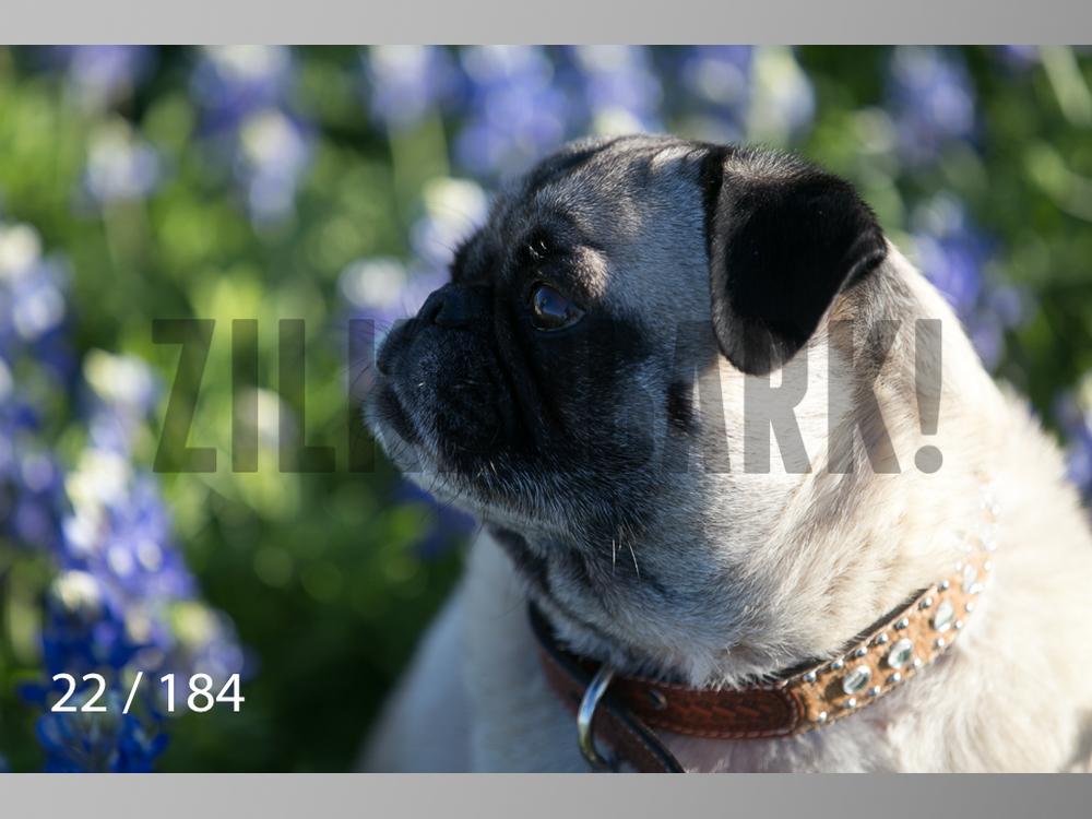 bluebonnet-022.jpg