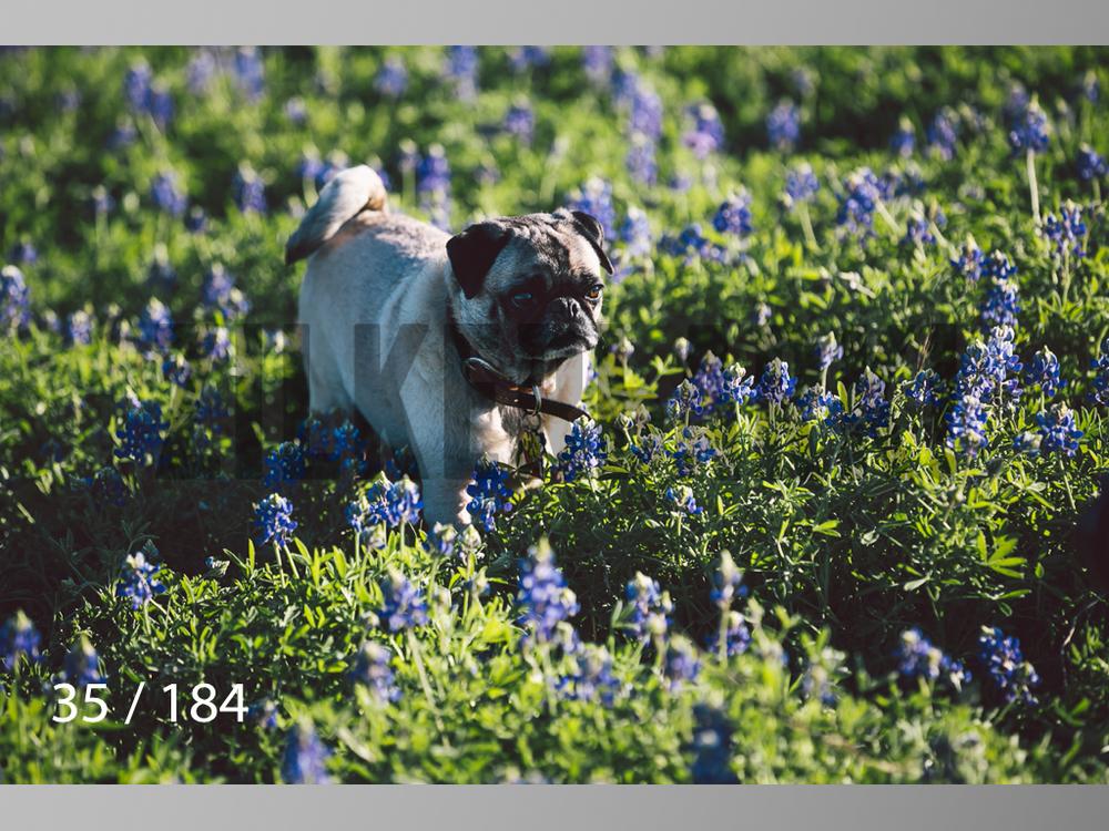 bluebonnet-035.jpg