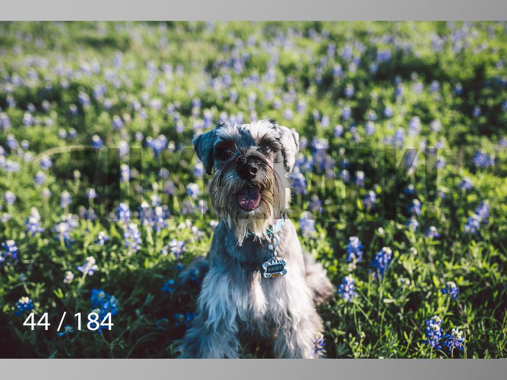 bluebonnet-044.jpg